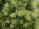 Растения Евпатории - сафора