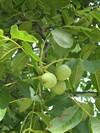 Растения Евпатории - грецкий орех
