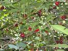 Растения Евпатории - вишня